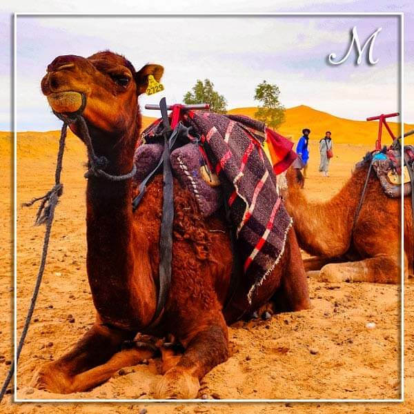 camel-square